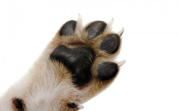 подушек лап у собаки