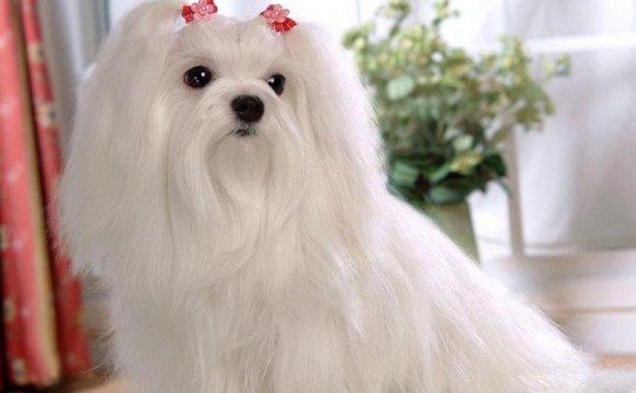 собак мальтийская болонка