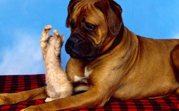 Боксер и котенок