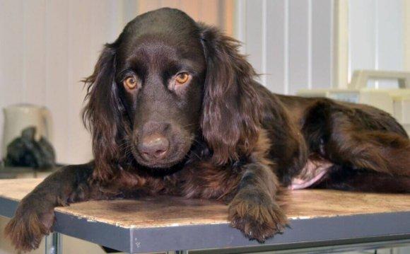 Прооперированная собака