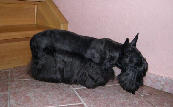 Стрижки собак фото