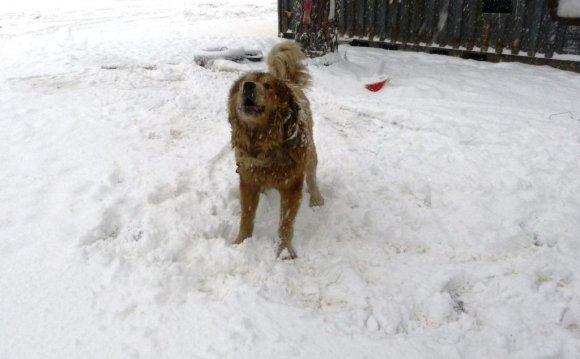 Собака на цепи - нет зрелища