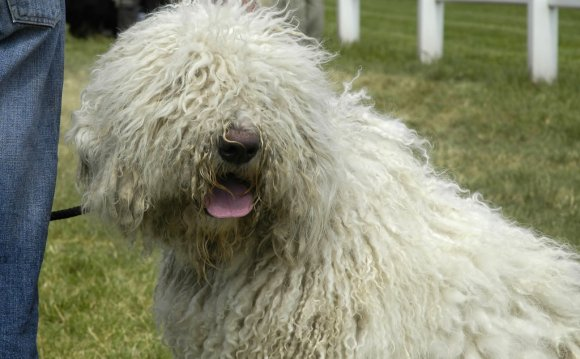 Венгерская сторожевая собака