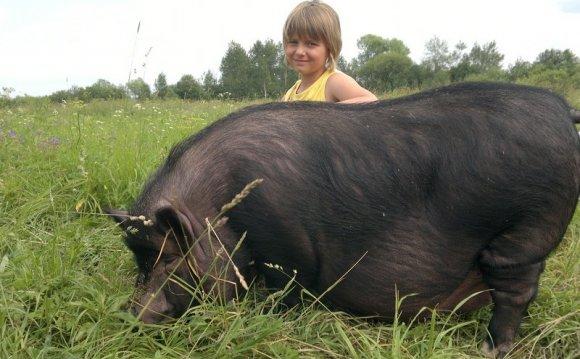 Разведение свиней вьетнамской